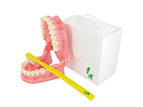 SERVICIO EXTREMEÑO DE SALUD SUPERSIZE ARCH & TOOTHBRUSH MODEL | A reproduction of the mouth and teeth made to scale from resin and presented in a personalised box. Includes scaled toothbrush for demonstrating toothbrushing actions.